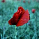 Flowers 3 - Susanna Bellini